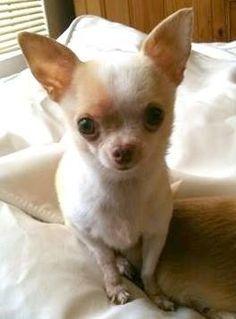 """Woke up late, I want kibbles!"" #dogs #pets #Chihuahuas Facebook.com/sodoggonefunny"