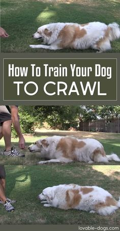 How To Train Your Dog To Crawl! via @KaufmannsPuppy