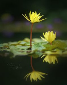 Pond Beauties - Yellow Water Lilies by Adrian Scheel on Water Lilies, Water Garden, Botanical Gardens, Pond, Dandelion, Lily, Paintings, Yellow, Plants