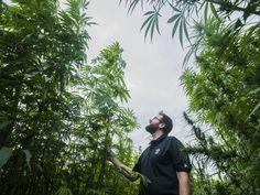 Brian Campbell, a Colorado State University graduate research assistant who helped design and execute the hemp experiment, gives a tour of the nearly half-acre test plot with 17 varieties. (Photo: Morgan Spiehs/The Coloradoan)