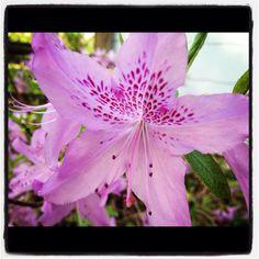 Azaleas--Garden