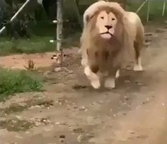 Mighty roar of a lion - Funny Animal Quotes - - The post Mighty roar of a lion appeared first on Gag Dad. Funny Animal Quotes, Funny Animal Videos, Cute Funny Animals, Funny Animal Pictures, Cute Baby Animals, Funny Cute, Best Funny Pictures, Animal Humor, Daily Pictures