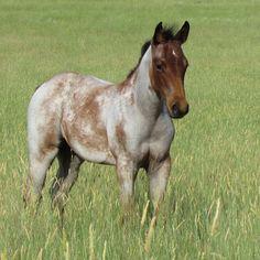 bay roan foal! I can't help it i love horses! :P