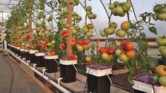 All about gardening: Tomato Growing Methods: Hydroponics vs. Soil #hydroponicstomatoes #hydroponicgardeningtomatoes