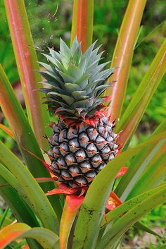 Pineapple, Ananas comosus