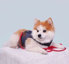 When BAE cancels plans and you are ready to go out Visit our Carolina Corrodi website and discover our Harness Collection Dog Fashion, Ready To Go, Zurich, Pomeranian, Geneva, Dog Training, Cute Dogs, Going Out, Dog Lovers