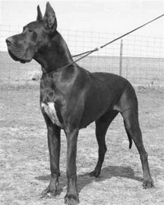 This Great Dane owned by Ann Elizabeth Isham perished in the Titanic disaster. Isham was already in a lifeboat when she got out to go to the ship's kennel to retrieve her dog. She never returned. A few days later, her body was found in the water, still clutching her beloved pet.