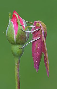 Deilephila Elpenor by Diego Dalla Valle