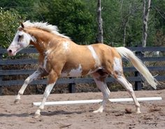 Thoroughbred Stallion Sato by Puchilingui owned by Blazing Colours Farm