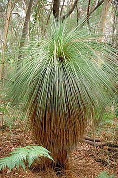View of a Grass Tree in Noosa National Park. Noosa Australia, Australia Photos, Paradise Found, Photography Tours, Photo Tree, Sunshine Coast, Acrylic Art, Grass, The Neighbourhood