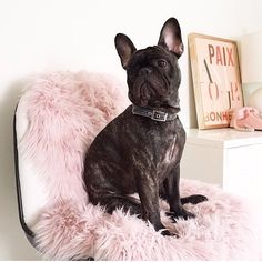 """french dog posing in front of our french print """"Paix Amour Bonheur"""" (Peace, love, happiness)"""
