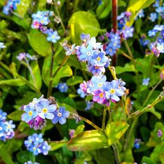 Forget me nots #yorkshire #countryside #flowers #wildflowers #guiseley   #countryside#flowers#wildflowers#guiseley#yorkshire