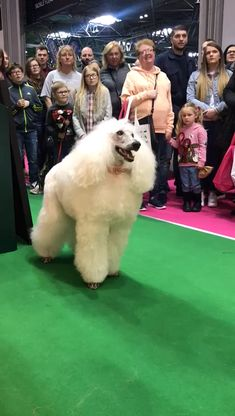 Arden Grange naturally hypoallergenic pet food for dogs and cats. Red Poodles, French Poodles, Standard Poodles, Black Lab Puppies, Corgi Puppies, Chinese Dog, Poodle Grooming, Dog Grooming Business, Funny Dog Pictures