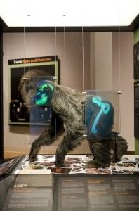 Check out our new Lucy exhibit ... http://blogs.answersingenesis.org/blogs/creation-museum/2012/05/29/lucy-has-arrived/