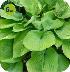 OGRÓDBELLINGHAM Spinach, Vegetables, Vegetable Recipes, Veggies
