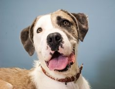 I'm Loki, a gorgeous boy who loves cuddles and walkies. I'm looking for my furever home, could it be yours? Come find me at Wacol in Brisbane! http://bit.ly/2igDbsb