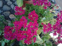 Calanchoes, que color, mi jardin