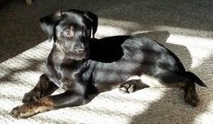 Roxie the Rottweiler/Lab Mixed Breed