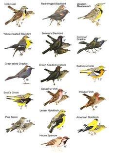 house finch vs gold finch - Google Search