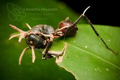 Dead ant with Cordyceps fungus growing out | by Dorota Polaczek Henuati Expeditions
