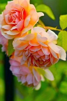David Austin English Rose. Grace