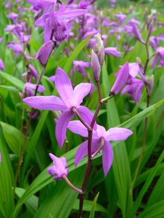 Bletilla striata (Hardy Orchid)