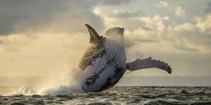 entangled-humpback-whale-spotted-off-the-coast-of-california_future-oceans