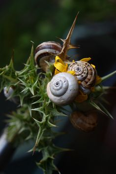 A crowd of snails on thistles; who would think such a combination could be so beautiful.