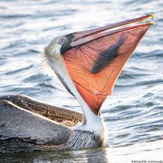 Photographer Decker Nomura Caught this Pelican at Dinner Time. Did you know that the Pelican holds the record for the largest bill or birds at long In this bill, they eat. Beautiful Birds, Animals Beautiful, Beautiful Ocean, Animal Photography, Nature Photography, Animals And Pets, Cute Animals, Tier Fotos, Exotic Birds