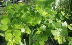 19 Manfaat Daun Bidara untuk Kesehatan - KhasiatSehat.com Ayurvedic Plants, Preschool Garden, Brain Food, Herbal Medicine, Get Healthy, Bonsai, Herbalism, The Cure, Seeds