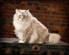 Indy is an adoptable Ragdoll Cat in Owensboro, KY. Indy is a beautiful 5 year old male Ragdoll. He is about 20 pounds and is very playful. He gets along well with other. This big boy is all 4 declawed...