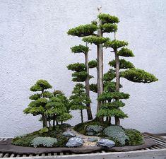 Foemina Enebro bonsai