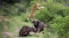 Flying Lion: Buffalo got his friends back!