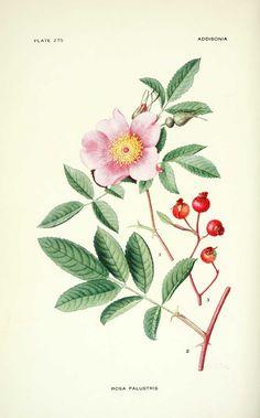 gravures fleurs Additiona - rosa palustris - rosier des marais