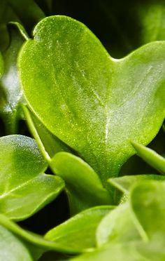 how to grow daikon radish