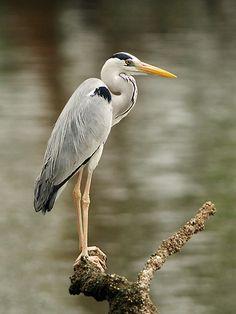 Large Herons & Egrets of SE Asia Grey Heron, Beautiful Birds, Crane, Asia, Herons, Artwork, Painting, Animals, British