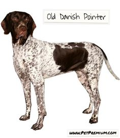 The Old Danish Pointer is known as a very family friendly dog, with displays of courage and determination. Females in particular tend to be livelier and more hot-tempered than the males. The dog breed is very active outdoors, as such an environment triggers its hunting roots. In fact, regular exercise and daily walks are greatly encouraged. By contrast, it is very quiet and stable indoors. Old Danish Pointers are not particularly suited for small places. Thus, owning one in an apartment or…