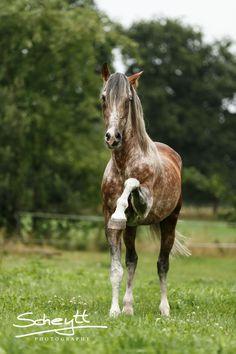 PRE Tiago - Pferdeshooting - Fotoshooting mit Pferd www.scheytt-photography.de