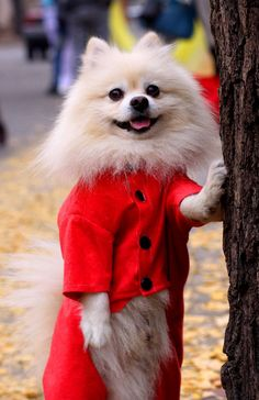 Now that is one adorable Pom!