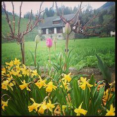 Wunderschöne Blumen, #tulpen #narzissen beim #hotelalmrausch in #kleinkirchheim www.almrausch.co.at Plants, Daffodils, Wonderful Flowers, Tulips, Seasons Of The Year, Nice Asses, Plant, Planets