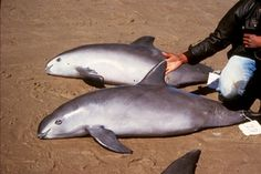 Conservationists are urging the Mexican and Chinese governments to take action to save the world's most endangered marine mammal, the vaquita porpoise.
