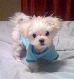 """I am in LOVE with the Maltese breed. <3 This isn't a """"current"""" favorite thing. It's an ALWAYS favorite thing :-)"""