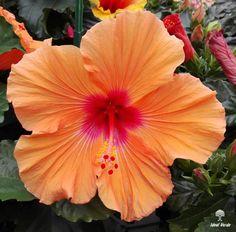 #ibiscus #vivaidealverde #flower