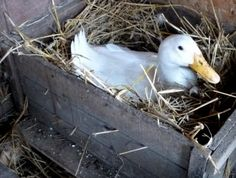 Duck in a Nesting Box