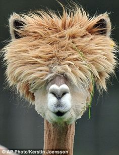 Shear joy! The Austrian alpacas given retro hairstyles at their annual shave. The annual alpaca shearing is a ritual on the Austrian farm of Alpaca-Land. The alpacas were given stylish new looks by Carina and Erwin Stadler on the farm near in Goeming, near Salzburg in western Austria.  [Photo source AP Photo/Kerstin Joensson - May 1 2012]'h4d'120924