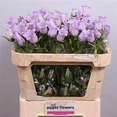 Campanula Medium Lampion Lilac is a beautiful Lilac seasonal cut flower commonly known as Canterbury Bells. Quite large bell shaped flowers with several to a stem. Lilac Wedding Flowers, Rustic Wedding Flowers, May Flowers, Amazing Flowers, Purple Flowers, Wholesale Florist, February Wedding, Florist Supplies, Wedding Flower Inspiration