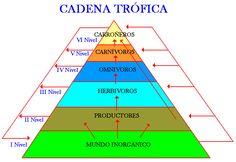 Esquema piramidal de la cadena trófica.