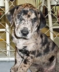 Get these puppies homes!!!! Rascal - Litter R is an adoptable Catahoula Leopard Dog Dog in Newaygo, MI. Meet Rascal - this adorable Catahoula Leopard puppy - In early March, Lake Haven rescued 40  puppies from Georgia - they wer...
