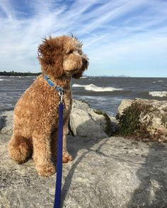 Enjoying the fresh air at Jack Darling Memorial Park! - Mississauga, ON - Angus Off-Leash #dogs #puppies #cutedogs #dogparks #mississauga #ontario #angusoffleash
