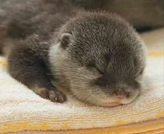 8 baby otter